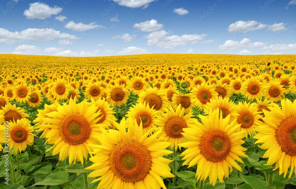 Fototapety, obrazy: Sunflowers field on sky