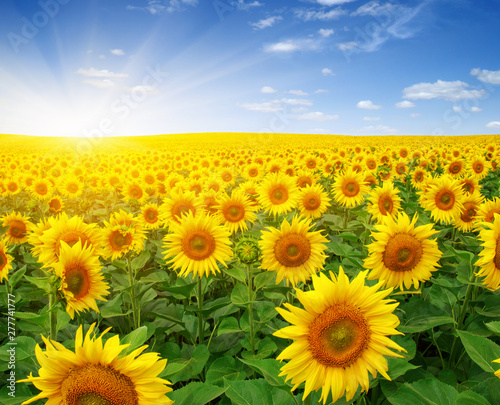 Foto auf Leinwand Gelb field of sunflowers