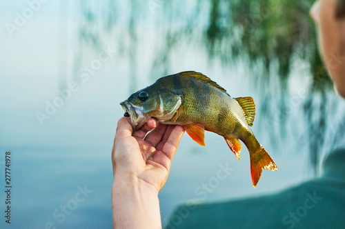 Fotobehang Vissen Caught trophy fish perch in the hand of a fisherman. The bait in a predator jaw. Spinning sport fishing. Catch & release. The concept of outdoor activities.