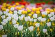canvas print picture - Rote, gelbe und weiße Tulpen - weiß im Fokus