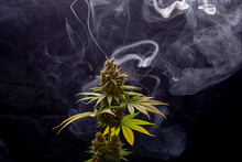 Cannabis Plant In Full Bloom With Smoke Isolated Over Black Background