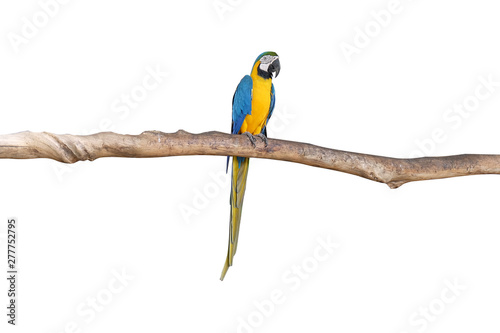 Foto op Canvas Papegaai Macaw parrots stand on the branches with white background. isolated parrot. Bird.