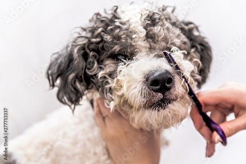 Fototapeta cute white and black bichon frise dog being groomed by professional groomer