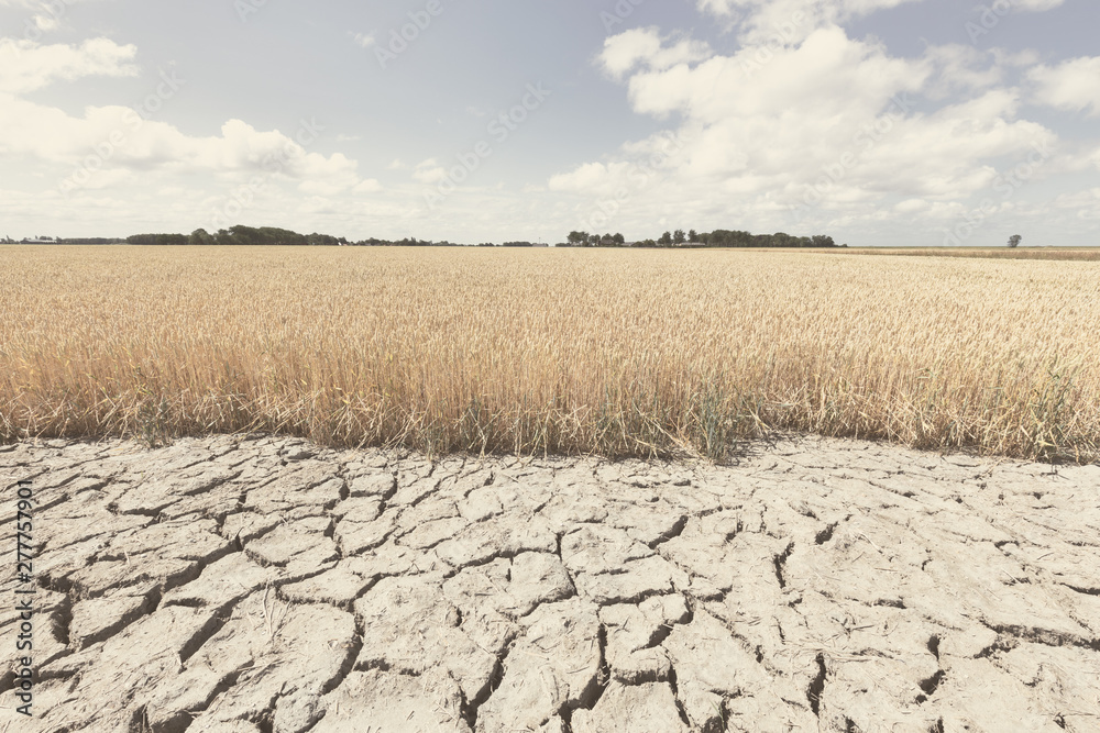 Fototapeta Dry and arid land with failed crops due to climate change and global warming.