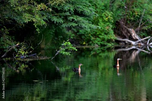 Fotobehang Vissen Red-necked Grebes