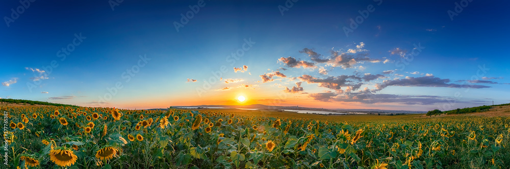 Fototapety, obrazy: field of blooming sunflowers on a background sunset
