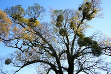宿り木 mistletoe