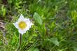 eine Blume (Kuhschelle) auf einer Wiese