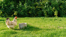 Hen Feeding In The Farm Yard. White Hen Stands On Grass In Garden And Looking At Camera. Free-range Chicken.