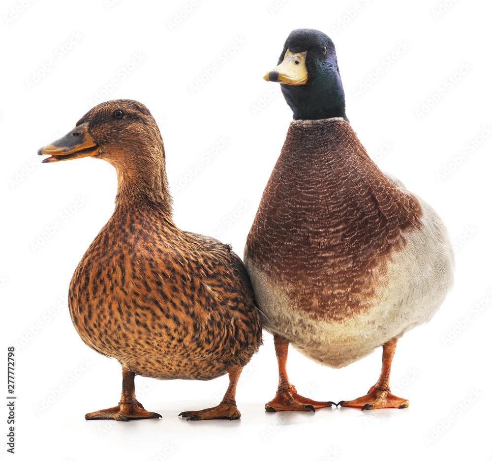 Fototapety, obrazy: Two wild ducks.