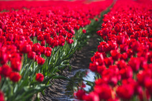 View Of Red Tulip Field