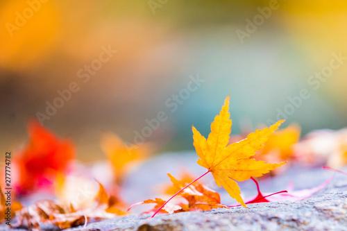 Autumn maple tree leaves