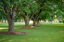 A Row Of Mulched Pecan Trees I...