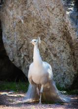A Beautiful Albino Peacock