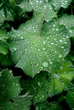Raindrops On Leaves Of Lady's ...