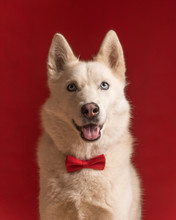 Portrait Of Pretty Siberian Husky Dog Wearing Red Bow Tie Isolated Against Red Background. Cool Funny Party Dog