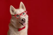 Funny Lovely Siberian Husky Dog Wearing Glasses And Red Bow Tie Isolated Against Red Background. Dog Looks Right. Copy Space