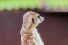 A Funny Meerkat Guarding Its Enclosure Of Possible Predators