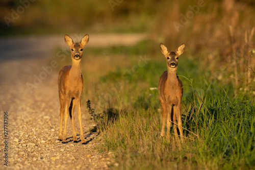 Fotografie, Obraz Young Roe deer (Capreolus capreolus)