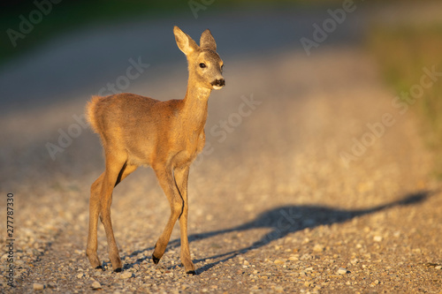 Young Roe deer (Capreolus capreolus)