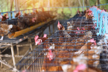 Hen In Cage Agriculture On Ind...