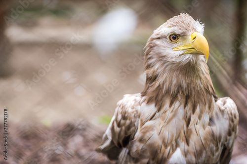 Mighty white tailed eagle in zoo cage Wallpaper Mural