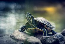 Cute Small Tiny Turtle On A Rock