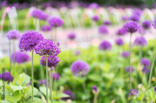 Fototapeta Czosnek - kwiaty  purple-flowers-with-a-beautiful-bokeh
