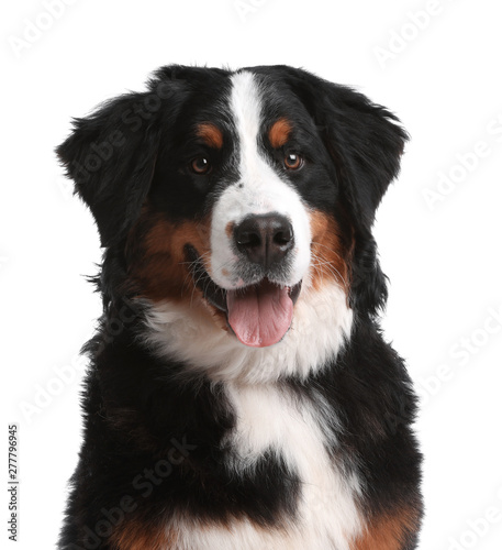 Papel de parede Funny Bernese mountain dog on white background