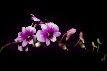 Purple Orchids Isolated On Bla...