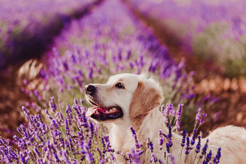 FototapetaAdorable Golden Retriever dog in lavender field at sunset. Beautiful portrait of young dog. Pets outdoors and lifestyle