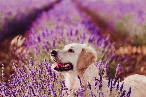 Crédence de cuisine en verre imprimé Chien Adorable Golden Retriever dog in lavender field at sunset. Beautiful portrait of young dog. Pets outdoors and lifestyle
