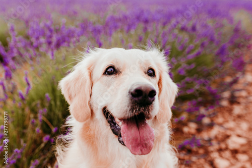 Adorable Golden Retriever dog in lavender field at sunset. Beautiful portrait of young dog. Pets outdoors and lifestyle