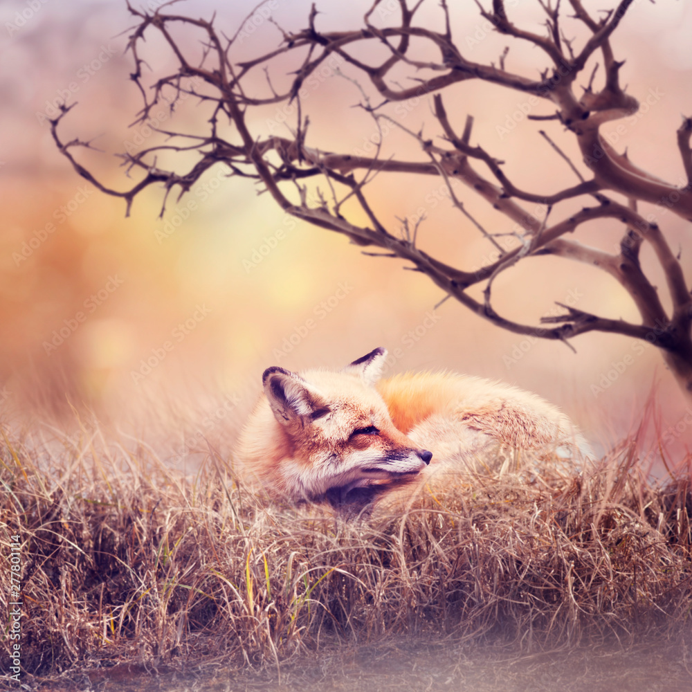 Fototapety, obrazy: Red fox  resting in the grass