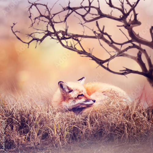Door stickers India Red fox resting in the grass