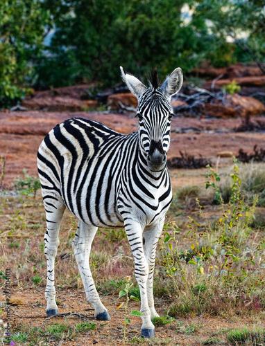 Zebra Foal Looking