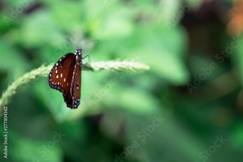 Queen Butterfly on a Leaf