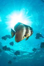 A Batfish In The Sunurst With ...