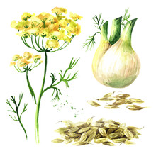 Fresh Fennel Bulb With Leaves, Flowers And Seeds Set. Watercolor Hand Drawn Illustration Isolated On White Background