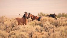 Three Wild Horses In The Vast ...