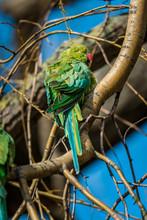 Wild Rose-ringed Or Ring-necked Parakeet Sunbathing In Vondelpark, Amsterdam,
