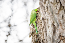 Wild Rose-ringed Or Ring-necked Parakeet Perching On A Tree
