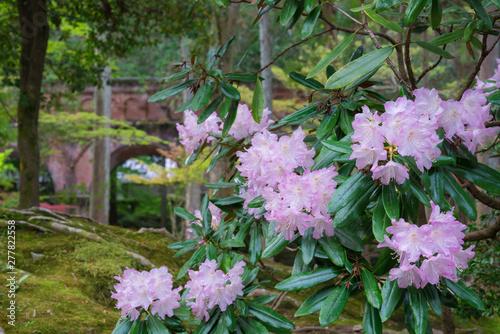 Photo 京都 南禅寺のシャクナゲの花
