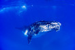 canvas print picture - A humpback whale swimming close by under the water in blue water