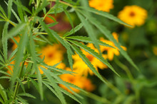 Close-up Leaf Of Marijuana On A Background Of Colorful Flowers