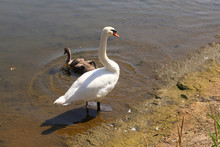 White Swan With Cub On The River