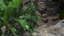 A Beautiful Jaguar Walks Throu...