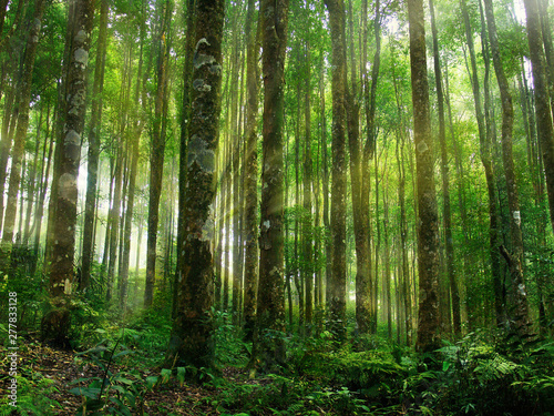 Photo  ray of sun in the middle of rainforest tree