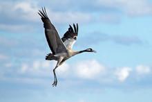 Take Off The Crane. Common Crane Or Eurasian Crane (Grus Grus).