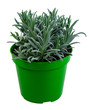Isolated potted lavender plant